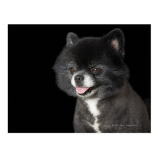 Black Pomeranian looking to the left Postcard