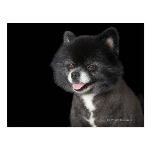 Black Pomeranian looking to the left Postcards