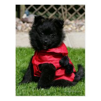 Black Pomeranian Puppy Looking at Camera Postcard
