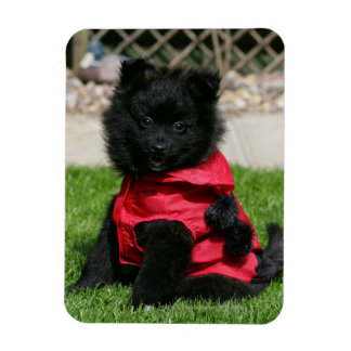 Black Pomeranian Puppy Looking at Camera Rectangle Magnets