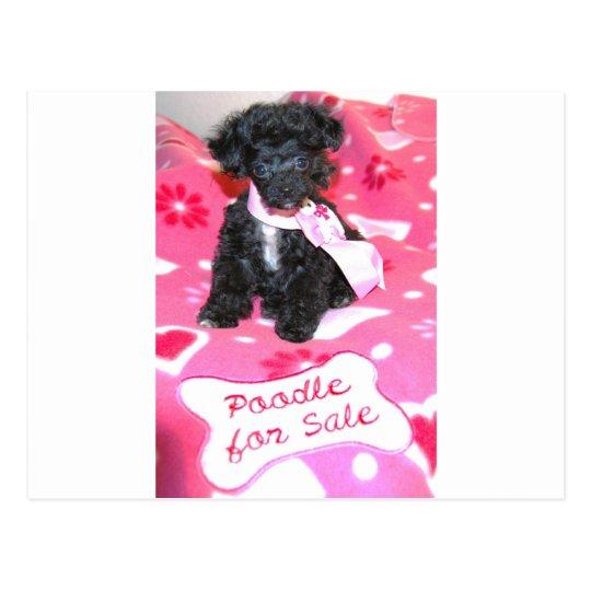Black Poodle puppy for Sale Pink Postcard