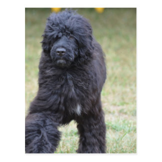 Black Portuguese Water Dog Postcard