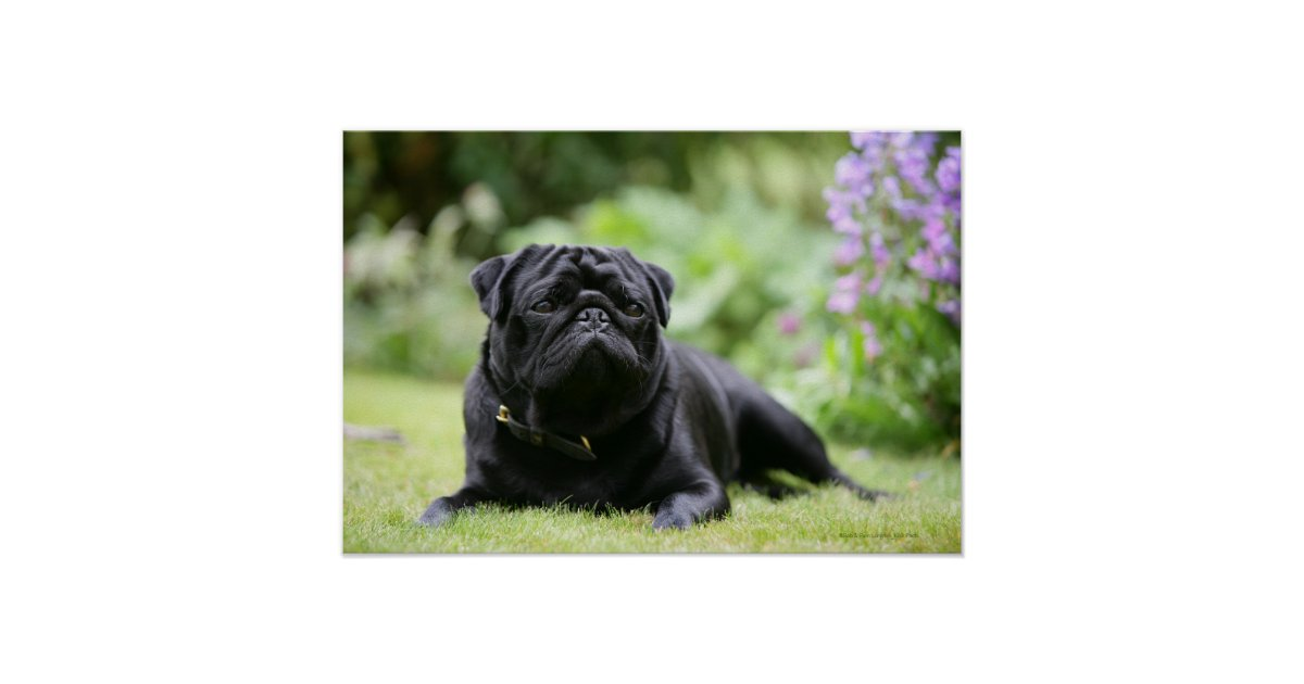 pug laying down black pug laying down poster zazzle 280
