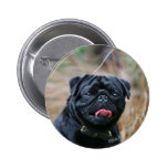 Black Pug Panting While Looking at Camera 2 Inch Round Button