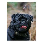 Black Pug Panting While Looking at Camera Postcard
