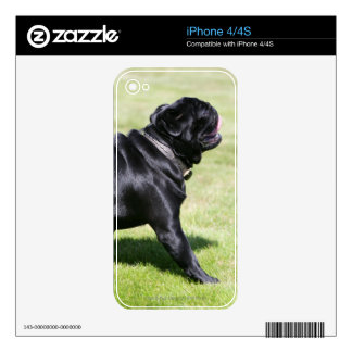 Black Pug Panting While Walking Skin For The iPhone 4S
