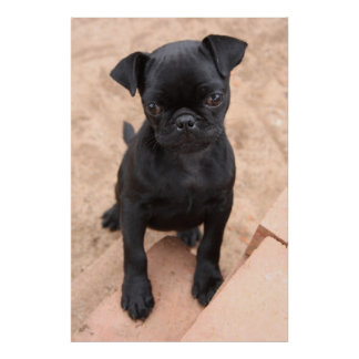 Black pug puppy poster