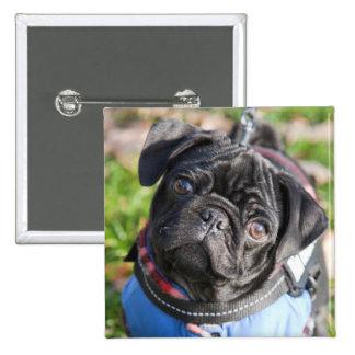 Black Pug Puppy Wearing A Jacket Button