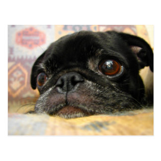 Black Pug Puppy with a Sad Face and Big Eyes Postcard