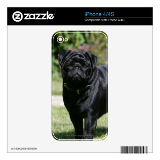 Black Pug Standing Looking at Camera Skin For iPhone 4S
