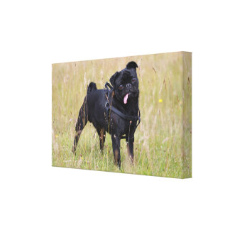 Black Pug Sticking Out Tounge Canvas Print