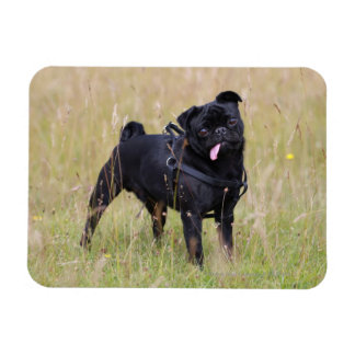 Black Pug Sticking Out Tounge Magnet