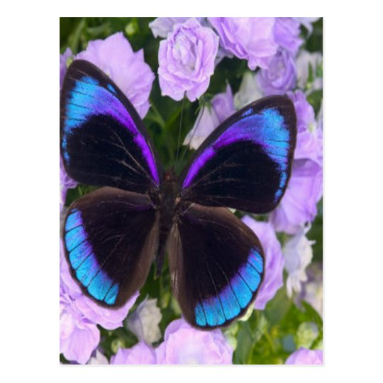 Black, Purple and Blue Butterfly Postcard