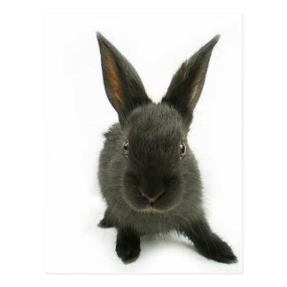black rabbit postcard