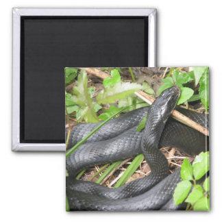 Black Racer Snake Sunning 2 Inch Square Magnet