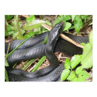 Black Racer Snake Sunning Postcard