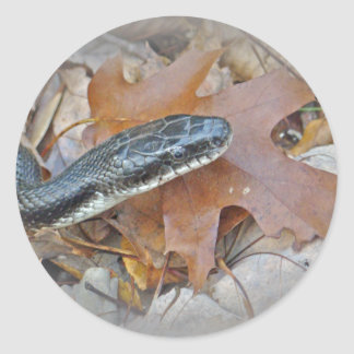 Black Rat Snake - Elaphe obsoleta obsoleta Classic Round Sticker