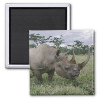 Black Rhinoceros, Diceros bicornis, Kenya 2 Refrigerator Magnet