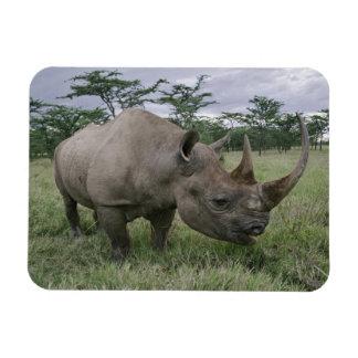 Black Rhinoceros, Diceros bicornis, Kenya 2 Vinyl Magnets