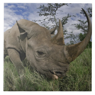 Black Rhinoceros, Diceros bicornis, Kenya Ceramic Tile