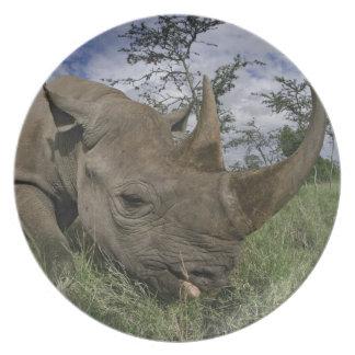 Black Rhinoceros, Diceros bicornis, Kenya Dinner Plate