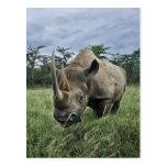 Black Rhinoceros, Diceros bicornis, Kenya Post Card
