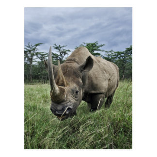 Black Rhinoceros, Diceros bicornis, Kenya Postcard