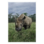 Black Rhinoceros, Diceros bicornis, Kenya Print