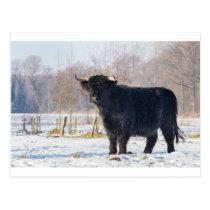 Black scottish highlander cow in winter snow postcard