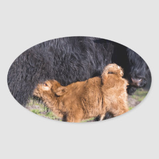 Black Scottish highlander mother cow and young Oval Sticker