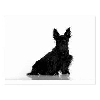 Black Scottish Terrier Postcard