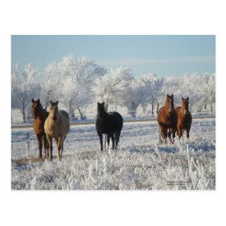 Black  Sheep Horse Postcard
