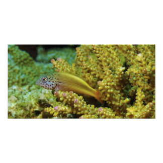 Black-sided Hawkfish Paracirrhites Forsteri Card