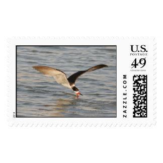 Black Skimmer Postage Stamp