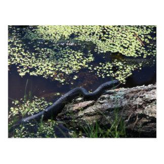 Black Snake #6543 Postcard