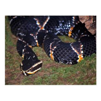 black snake postcard