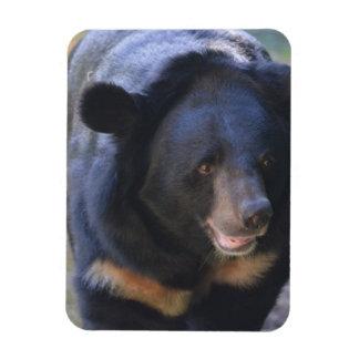 Black Spectacled Bear Magnet