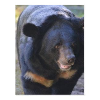 Black Spectacled Bear Postcard