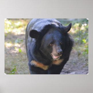 Black Spectacled Bear Poster