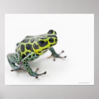 Black Spotted Green Poison Dart Frog Poster