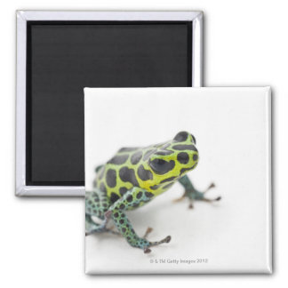 Black Spotted Green Poison Dart Frog (Ranitomeya Magnet