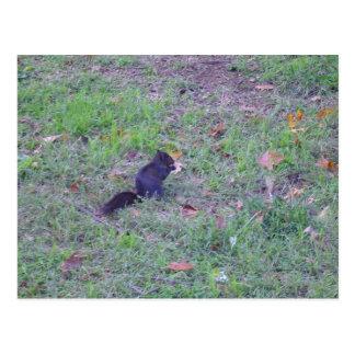 Black Squirrel Postcard