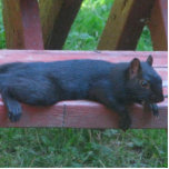 "Black Squirrel Statuette<br><div class=""desc"">A black squirrel in Birch Bay,  Washington flattens itself out for a rest on a picnic bench to enjoy a warm summer day.</div>"