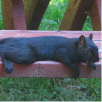 Black Squirrel Statuette