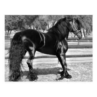 Black stallion horse postcards