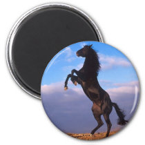 Black Stallion Magnet