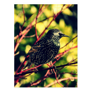 Black Starling Postcard