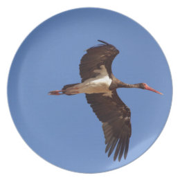 Black stork (Ciconia nigra) in flight Dinner Plate