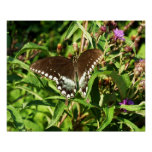 Black Swallowtail Butterfly Nature Photography Poster