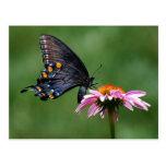 Black Swallowtail Butterfly on Coneflower Postcard
